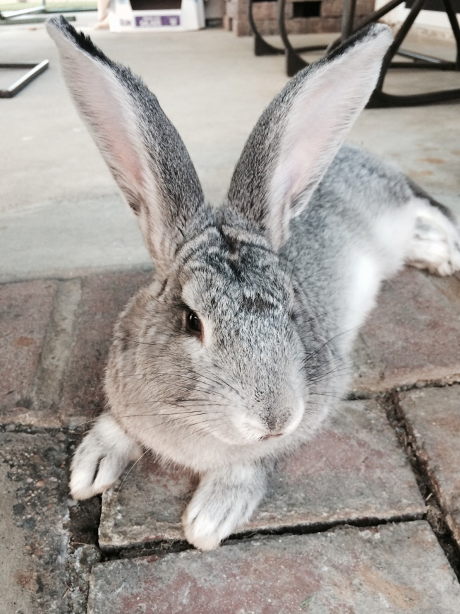 Dusty a Flemish Giant! See my handsome ears?