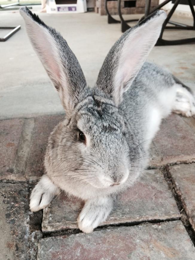 Dusty the Giant Flemish Rabbit