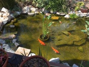 Auntie Barbara's Koi pond