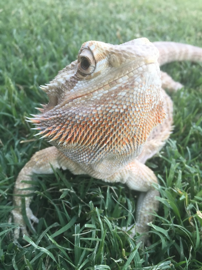 Lea the Bearded Dragon