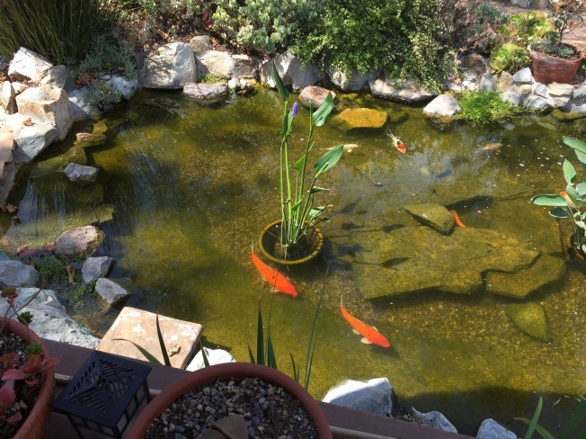 Koi in the pond