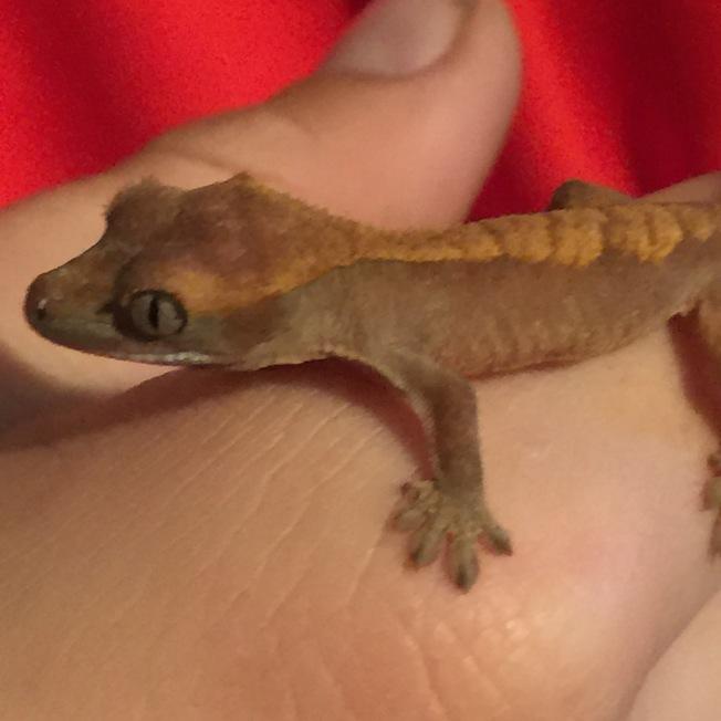 Baby gecko - no name